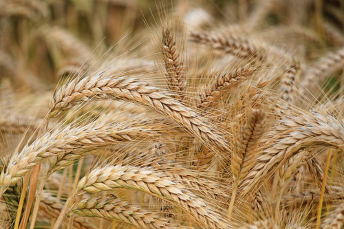 Certified Lacey Barley