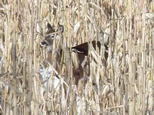 Wildlife Seed Corn