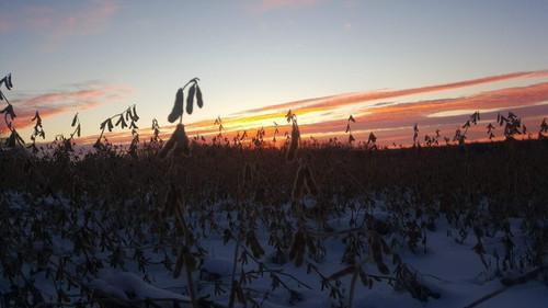 Eagle Soybeans - Pod Haven Glyphosate Tolerant
