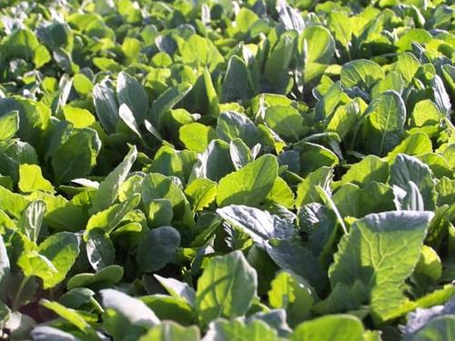 Winfred Forage Brassica