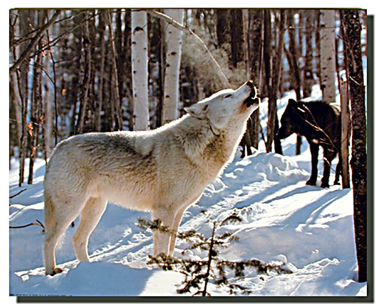 """New! Three Wolves in Snow Wolves Art Poster Print 24x36/"""" Winter snow pack"""