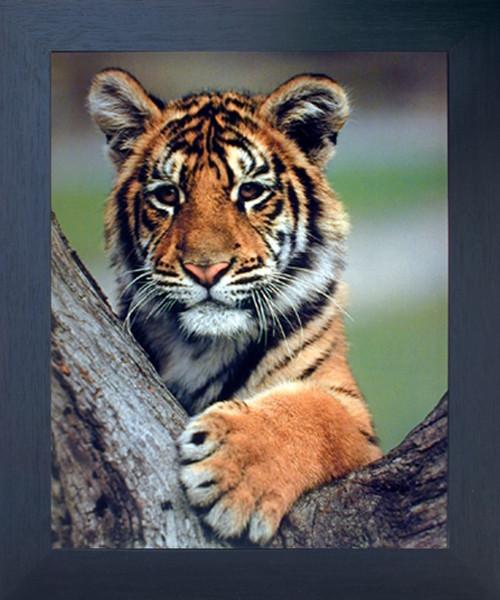 Bengal Tiger Cub Ron Kimball Wildlife Animal Wall Decor Espresso Framed Picture Art Print (20x24)