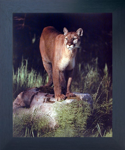 Mountain Lion Big Cat Animal Espresso Wildlife Wall Decor Framed Picture Art Print (20x24)