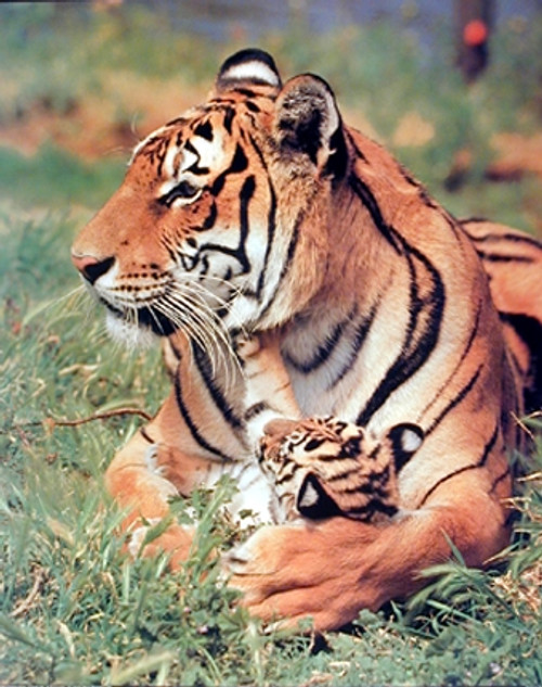 Bengal Tiger and Cub Wildlife Animal Wall Decor Art Print Poster (16x20)