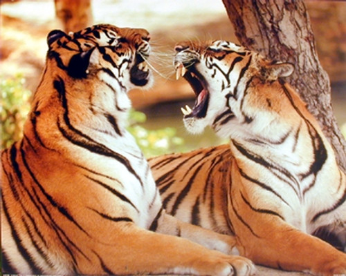 Pair of Bengal Tiger Roaring Wildlife Animal Wall Decor Art Print Poster (16x20)