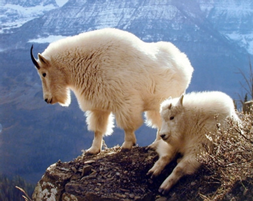 Pair of Mountain Goats glacier national park Animal Wall Decor Art Print Poster (16x20)