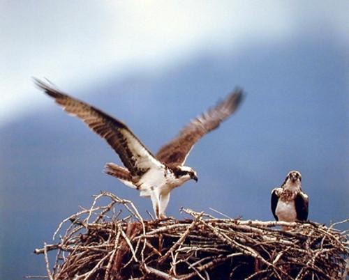 Osprey Eagle (Seahawks) Birds Nest Animal Picture Wall Decor Art Print Poster (16x20)