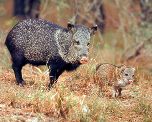 Wild Pig with Baby Animal Wall Decor Art Print Poster (16x20)