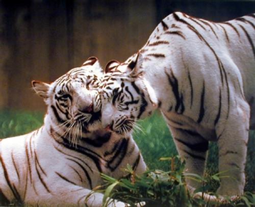 Pair of White Tiger Wildlife Animal Wall Decor Art Print Poster (16x20)