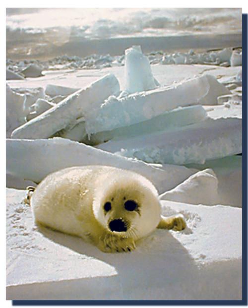 Harp Seal Poster