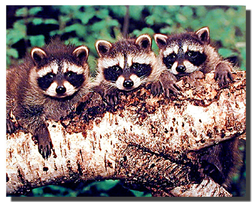 Three Raccoons Poster