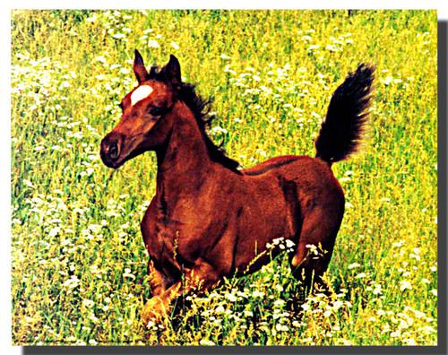 Arabian Foal Running Poster