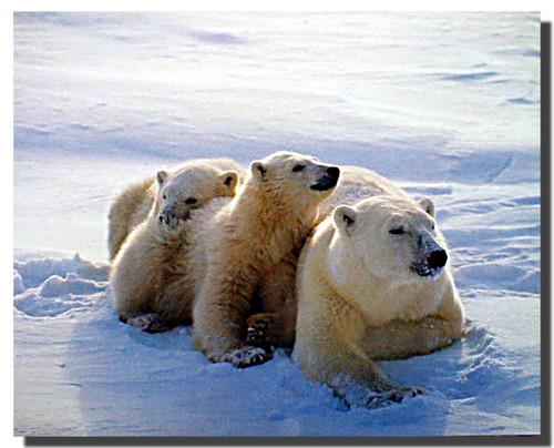 Polar Bear Sow and Cubs Poster
