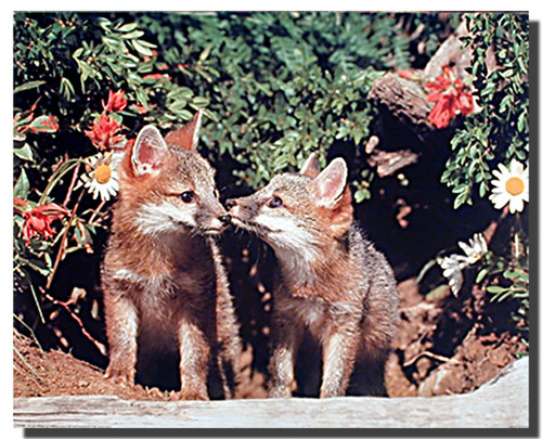 Gray Fox Kits Poster