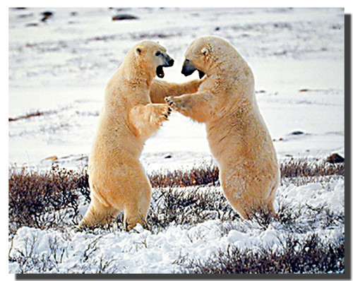 Polar Bears Fighting Poster