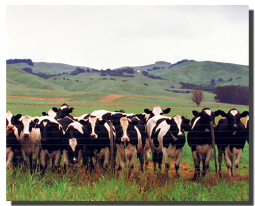 Cow Herd on a Pasture Poster