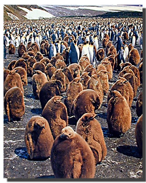 King Penguin Colony Poster