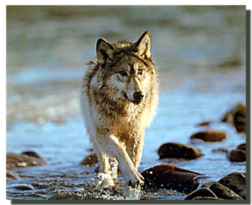 Gray Wolf Poster