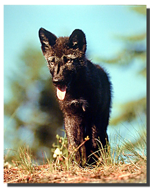 gray wolf pups Poster