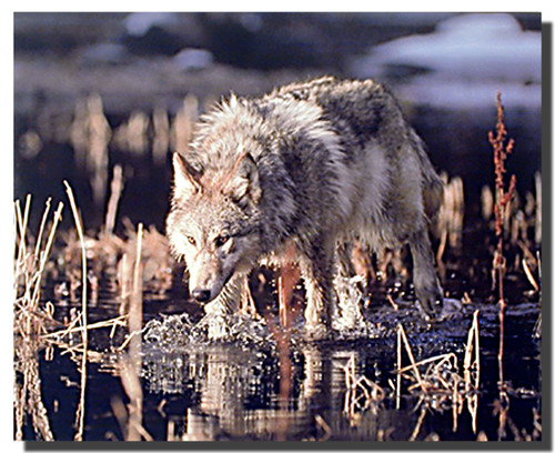 Gray Wolf in Stream Poster