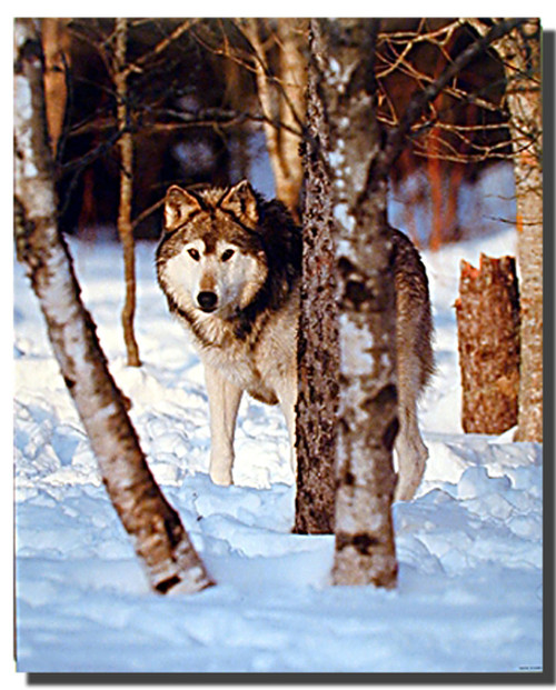 Gray Wolves in Snow Poster