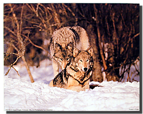 Wolf Pair Poster