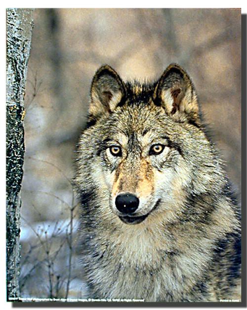 Timber Wolf Wild Eyes Poster