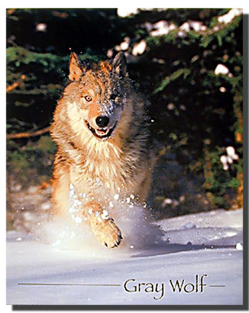 gray wolf running Poster