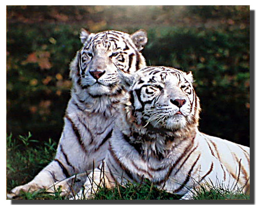 White Bengal Tigers Poster