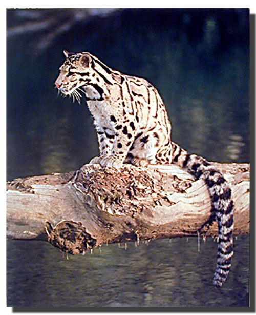 Clouded Leopard Print and Poster