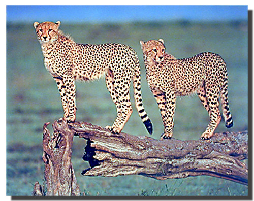 Cheetahs Poster