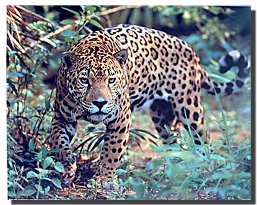 Jaguar Prowling Poster