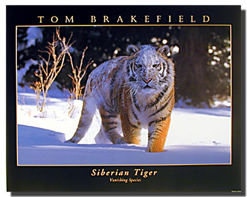Siberian Tiger on Snow Poster