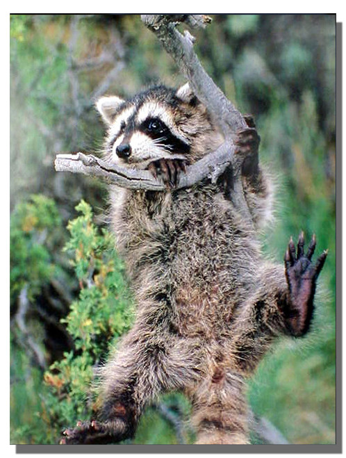 Raccoon on the tree Poster