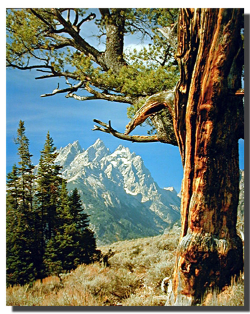 Scenic Tree and Teton Posters