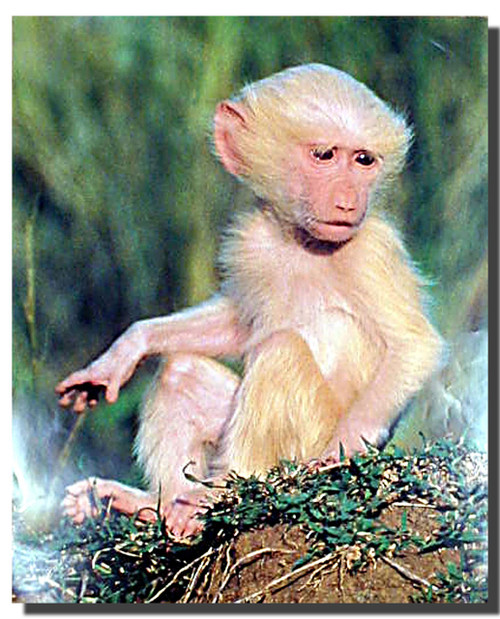 Albino Olive Baboon Poster
