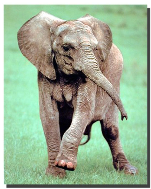 African Baby Elephant Poster