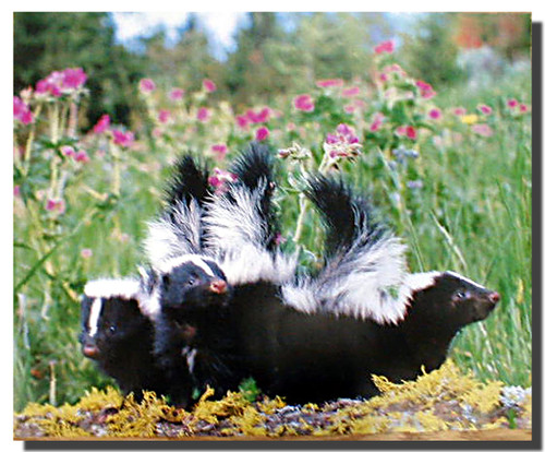 Striped Skunk Kits Poster