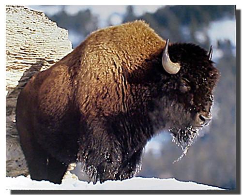 Bison Poster I