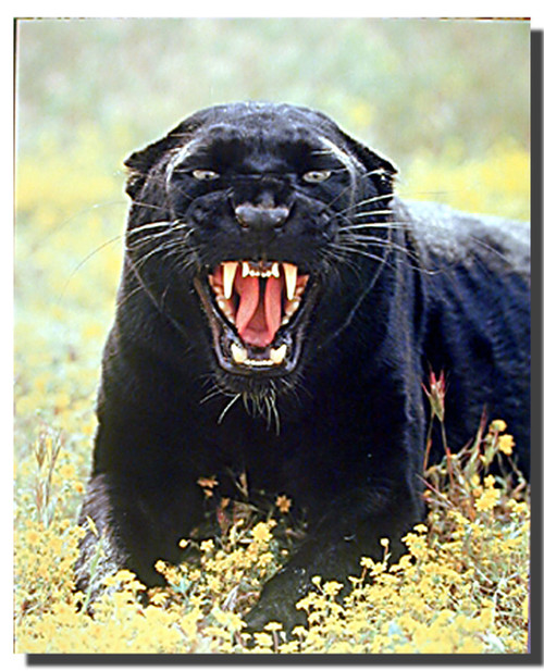 Snarling Panther Poster