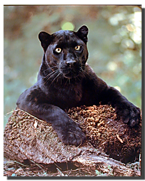 Black Panther Poster - Laying On The Rock