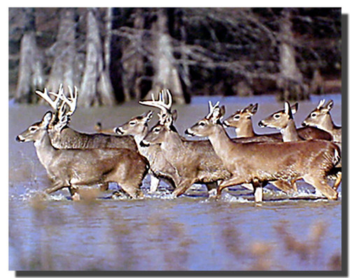White-tailed Deers Poster