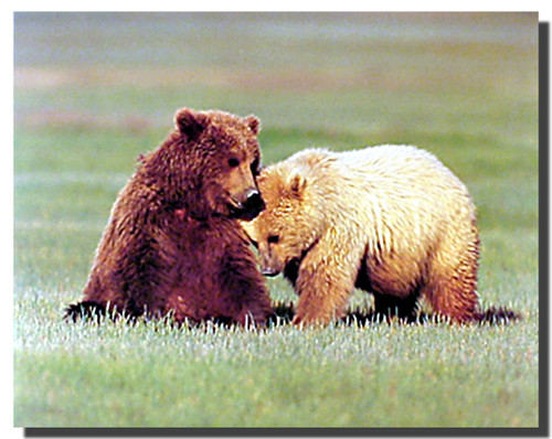 Nuzzling Grizzly Bears Poster