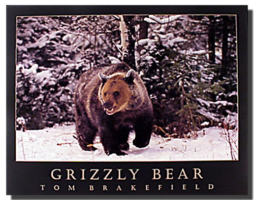 Grizzly Bear Print Poster