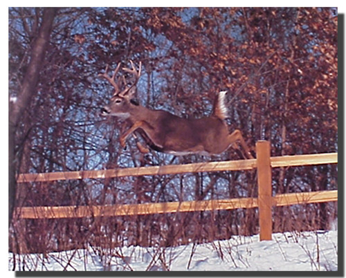 White Tailed Deer Jumping Poster