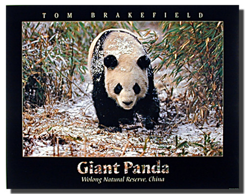 Giant Panda in Snow Poster