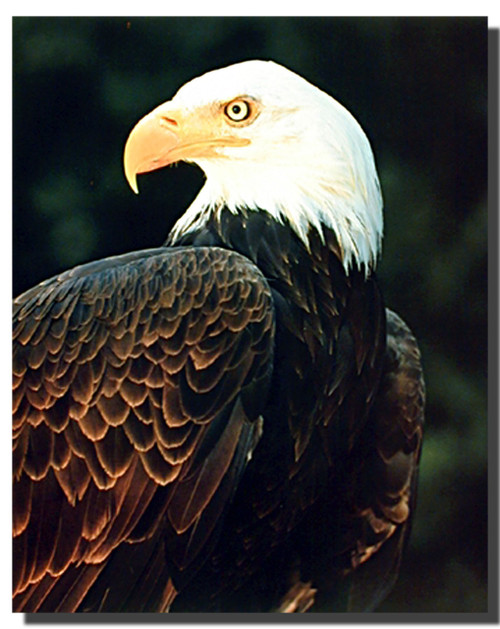 Bald Eagle Profile Posters