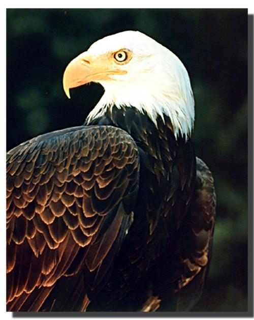 Bald Eagle Profile Posters