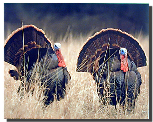 Wild Turkeys Posters
