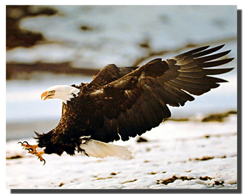 Bald Eagle Pouncing Posters